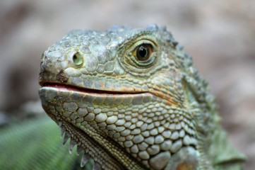 Iguana 3