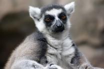 Lemur de cola anillada 2