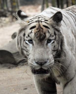 Tigre 03
