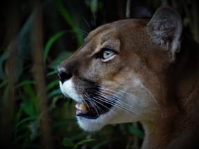 Puma 3